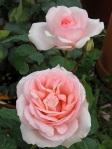 Rosa-Claire-Renaissance-Pulsen