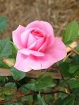 Rosa-Clara-Barni
