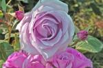 Rosa-DolceLuna-Barni