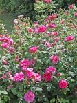 Rosa-gallica-Officinalis-siepe-nel-vivaio-di-Maurizio-Feletig