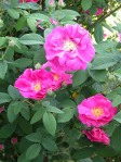 Rosa-gallica-Officinalis