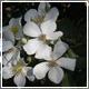Rosa Lorenzo_Villoresi fiori