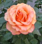 Rosa-Sunstruck-Carruth-2006
