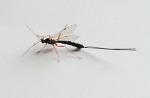 insetto-Rhyssa-persuasoria