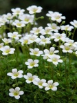 Saxifraga-vayredana-in-piena-fioritura
