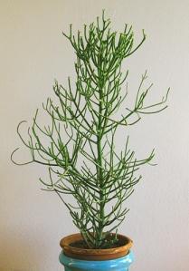 Euphorbia-tirucalli