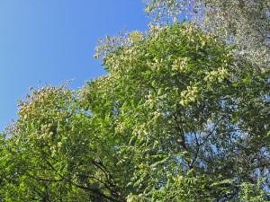 Koeleuteria-paniculata-al-tempo-della-fruttificazione