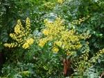 Koelreuteria-paniculata-in-fioritura