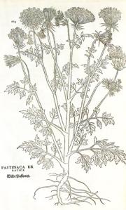la-pastinaca-rappresentata-in-Historia-Stirpium-Commentarii-di-Fuchs