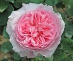 Rosa-Redoute-Austin-1992