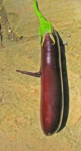 melanzana-bizzarra-del-maestro-giardiniere