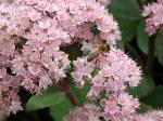 Sedum-hybridum-Joyce-Henderson-con-ape