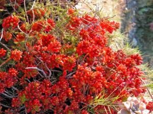 Sedum-rubrotinctum-(Liguria,-febbraio)