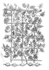 """Nel 1639 fu pubblicato a Parigi il libro """"Canadensium plantarum, aliarumque nondum editarum historia"""" con le illustrazioni di Jacques Philippe Cornut compresa questa, che riguarda proprio la trogna. E' la più antica rappresentazione che si conosca di questa pianta."""