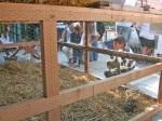 Guastalla-2009-gabbie-degli-animali-per-bambini-curiosi