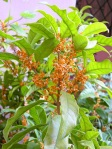 Osmanthus-fragrans-Aurantiacum