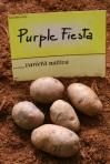 patata-nativa-Purple-Fiesta