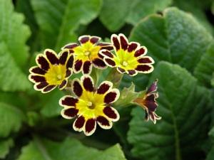 Primula-victoriana-Gold-Lace