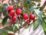 Rosa-acicularis-nipponiensis-bacche