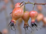 Rosa-highdownensis-bacche