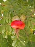 Rosa-rugosa-Gufo-delle-Nevi-bacche