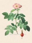 Rosa villosa rappresentata da Redouté