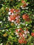 Abelia-fiori