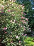 Camellia-sasanqua-Cleopatra
