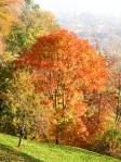 Acer-in-autunno-al-Parco-della-Burcina