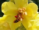 ape-con-le-calze-colorate-di-rosso-dal-polline-di-un-verbasco