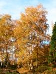 Betula-pendula-in-autunno-al-Parco-della-Burcina
