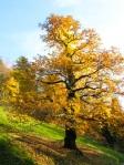Castanea-sativa-in-autunno-al-Parco-della-Burcina