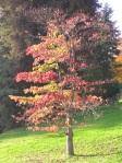 Cornus-controversa-in-autunno-al-Parco-della-Burcina