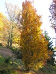 Fagus-Fastigiata-in-autunno-al-Parco-della-Burcina