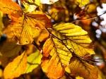 foglie-di-Fagus-sylvatica-il-giorno-di-San-Martino