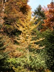 Gingko-biloba-in-autunno-al-Parco-della-Burcina