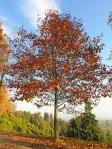 Liriodedendron-tulipifera-giovane-in-autunno-all'inizio-del-viale-dei-rododendri-al-Parco-della-Burcina