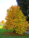 Magnolia-stellata-in-autunno-al-Parco-della-Burcina