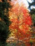 Prunus-avium-in-autunno-al-Parco-della-Burcina