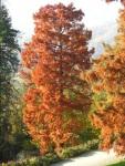 Taxodium-distichum-in-autunno-al-Parco-della-Burcina