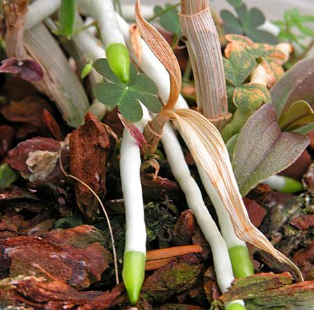 Dove vanno le radici mimma pallavicini s weblog for Radici orchidea