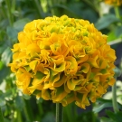 Ranunculus-922-PPG-10