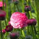Ranunculus-Hot-Pink-25_00