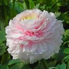 Ranunculus-Rosa-Chiaro-81_99