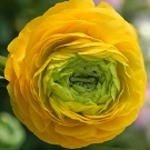 Ranunculus-Solaris-Success