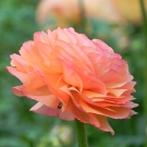 Ranunculus-Tropico-Success