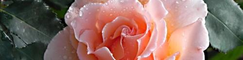 cropped-rosa-just-joey-per-testata.jpg