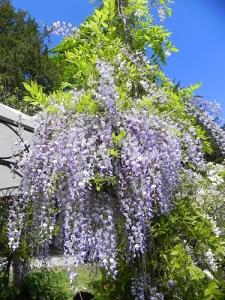glicine-violetto-chiaro