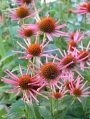 Echinacea-purpurea-All-that-Jazz