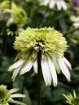Echinacea-purpurea-Coconut-Lime-3